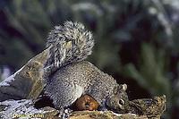 MA23-057z   Gray Squirrel - caching weathered apple - Sciurus carolinensis