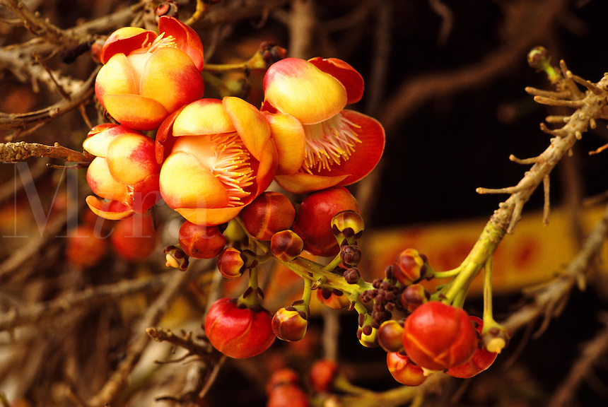 Japonica, chaenomeles, Japanese quince or cydonia,  in a Japanese garden.