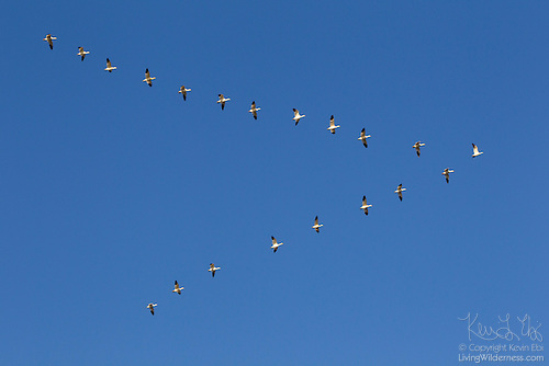 Snow Geese Flying in Formation, Skagit County, Washington