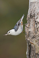 White-breasted Nuthatch (Sitta carolinensis),adult male on aspen tree, Rocky Mountain National Park, Colorado, USA