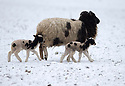 26/03/15<br /> <br /> Sheep with young lambs wake to snow covered fields in Fenny Bentley, in the Derbyshire Peak District.<br /> <br /> All Rights Reserved - F Stop Press.  www.fstoppress.com. Tel: +44 (0)1335 418629 +44(0)7765 242650
