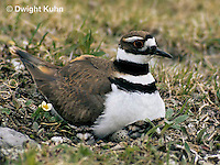 1K11-001z  Killdeer - adult sitting on eggs - Charadrius vociferus