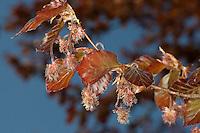 Blutbuche, Purpurbuche, Blut-Buche, Purpur-Puche, Blüte, Blüten im Frühling, Fagus sylvatica f. purpurea, Fagus sylvatica f. atro-punicea, Rot-Buche, Rotbuche, Buche, Common Beech, Europaen Beech, Fayard, Hêtre commun