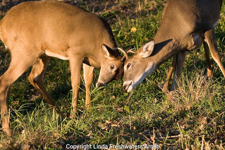 White-tailed bucks (Odocoileus virginianus) fighting/sparring