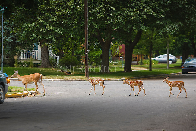 This family of whitetail deer uses the cross walk in a Missoula, Montana neighborhood