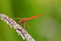 Male Cardinal meadowhawk dragonfly (Sympetrum illotum) perched on grass seedhead.  Pacific Northwest.  Summer.