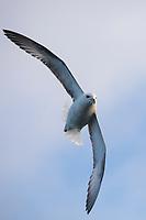 Eissturmvogel, Flug, Flugbild, fliegend, Eis-Sturmvogel, Nordatlantischer Eissturmvogel, Sturmvogel, Fulmarus glacialis, Fulmar, Northern Fulmar, Arctic fulmar, flying, flight, Le Fulmar boréal, le Pétrel glacial, le Pétrel fulmar, le fulmar glacial