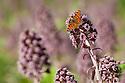 Comma butterfly {Polygonia c-album} feeding on Butterbur flowers {Petasites hybridus} Peak District National Park, Derbyshire, UK. April.
