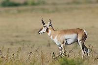 Pronghorn, Antilocapra americana, male walking, Lubbock,Texas,September 2005