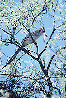 Roodrunner sets in a tree with its catch