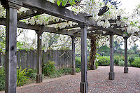 Wysteria arbor and garden.Turnbull Wine Cellars. California