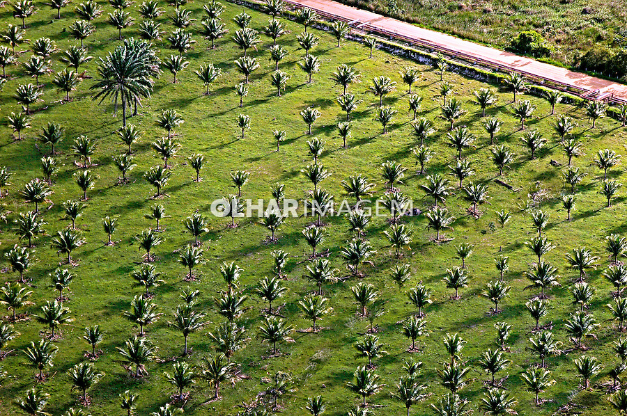 Plantação de Coqueiro no Espírito Santo. 2006. Foto de Rogério Reis.