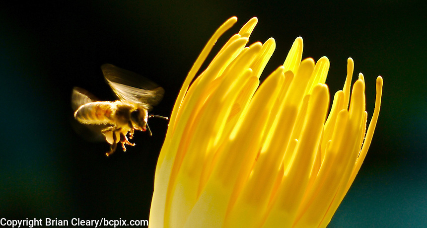 A bee flies near a water lily bloom in Ormond Beach, FL, Septenber 2010.  (Photo by Brian Cleary/www.bcpix.com)