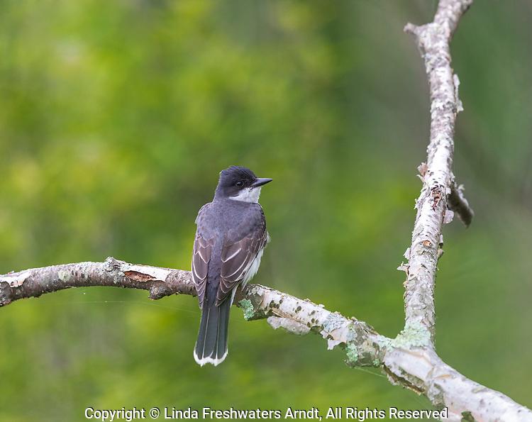 Eastern kingbird in northern Wisconsin.