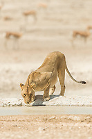 lion, Panthera leo, female, lioness, drinking in a waterhole, Etosha National Park, Namibia, Africa