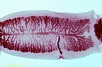 1Y26-006a  Tapeworm - flatworm parasite, segment from human, mature proglottid -  Taenia saginata