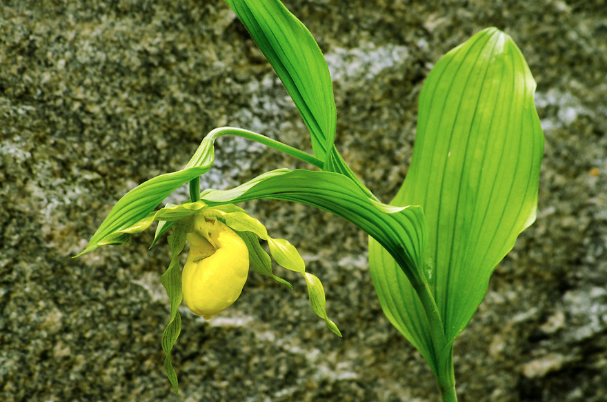 This Yellow Ladyslipper is one of three I have ever seen.