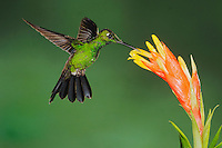 Green-crowned Brilliant (Heliodoxa jacula), male feeding from bromeliad flower,Mindo, Ecuador, Andes, South America