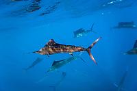 Atlantic Sailfish, Istiophorus albicans, Isla Mujeres, Yucatan Peninsula, Caribbean Sea, Mexico, Atlantic