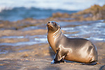 La Jolla, California; a juvenile California sea lion pup basking in early morning sunlight, while resting on the rocky shoreline along the Pacific Ocean