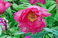 Paeonia Renown suffruticosa tree peonies in vivid colorful deep pink peonies flowers