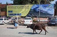 India, Dehradun.  Cow Walking down the Street in front of the Dehradun Train Station.