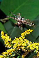 """OR01-048z  Grasshopper - flying, short horned or """"true"""" grasshopper, two-striped grasshopper - Melanoplus spp."""