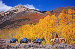Cowboy packer leading pack mules at Bishop Canyon, Eastern Sierra, California