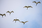 Damon, Texas; a flock of cattle egrets flying overhead against a partly sunny sky