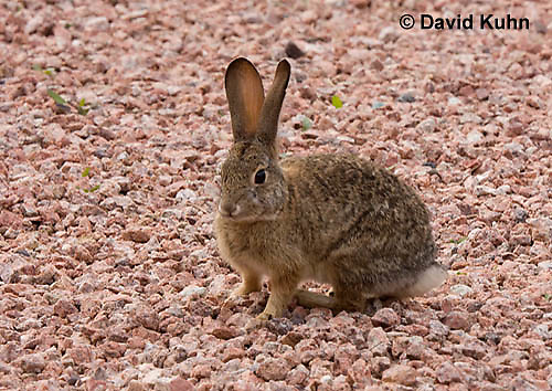 0717-1006  Desert Cottontail Rabbit (Audubons Cottontail), Sylvilagus audubonii  © David Kuhn/Dwight Kuhn Photography