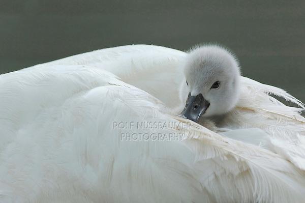 Mute Swan ( Cygnus olor), young on mothers back, Lake of Zug, Switzerland