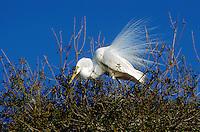 A Great Egret in breeding plumage.