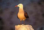 Heerman's gull, Isla de Rasa, Sea of Cortez, Mexico
