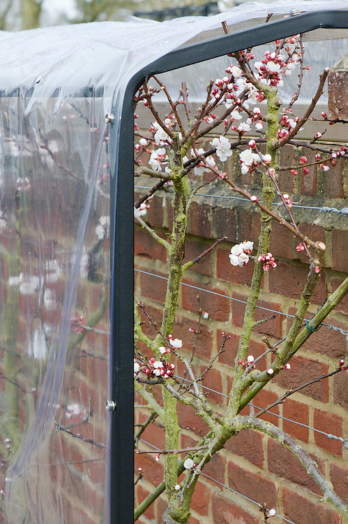A plastic cover over a fan-trained apricot 'Delicot Flavorcot' helps to protect the blossom from early frosts. It is open at each end to allow insects to pollinate the flowers.