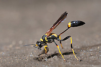 Black and yellow Mud Dauber (Sceliphron caementarium), female collecting mud for nest, Comal County, Hill Country, Central Texas, USA