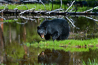 Wild, adult, Black Bear (Ursus americanus) reflecting in small pond.  Western U.S., spring.