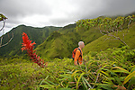 Sur les pentes ouest de la Montagne Pelée (1395 m).Ananas montagne rouge.Les couleurs rouges des fleurs de l'ananas montagne  jalonnent la montée vers la caldeira de la Montagne pelée.