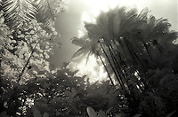 B&W Infrared palm tree scenic taken on the Big Island of Hawaii.