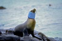 Galapagos sea lion, Zalophus wollebaeki, entangled with plastic tube, Galapagos Islands, Ecuador, Pacific Ocean