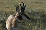 Portrait of grazing pronghorn antelope in South Dakota.