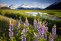 Lupine blooms along Turnagain Arm, Chugach National Forest, Alaska.