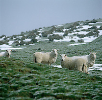 Welsh mountain sheep in a blizzard