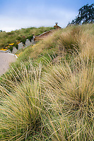 Festuca mairei (Atlas Fescue) on grass meadow green roof garden for California home