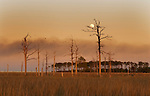 Dead and dying trees from the effects of sea level rise in a Chesapeake Bay marsh.