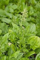 Echter Spinat, Gemüsespinat, Gartenspinat, Gemüse-Spinat, Garten-Spinat, Spinacia oleracea, Spinach