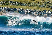 Indo-Pacific bottlenose dolphin, Tursiops aduncus, leaping out from a large ocean wave on which it was surfing, Wild Coast, Transkei, Eastern Cape, South Africa, Indian Ocean