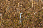 Crex Meadows Wildlife Area - Sandhill crane standing in a field.