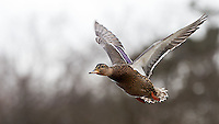 A female mallard duck takes off at Reifel Bird Sanctuary in BC.