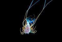 bathypelagic species of cusk-eel, bony-eared assfish, Acanthonus armatus, making an appearance in 50 feet during a Black Water drift dive in waters 600+ feet deep, Palm Beach, Florida, USA, Atlantic Ocean