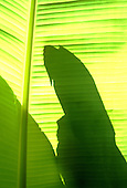 Brazil. Silhouette shadow of a macaw on a banana leaf backlit with sunshine.